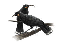 huia-ned-barraud-illustrator-from-moa-to-dinosaurs