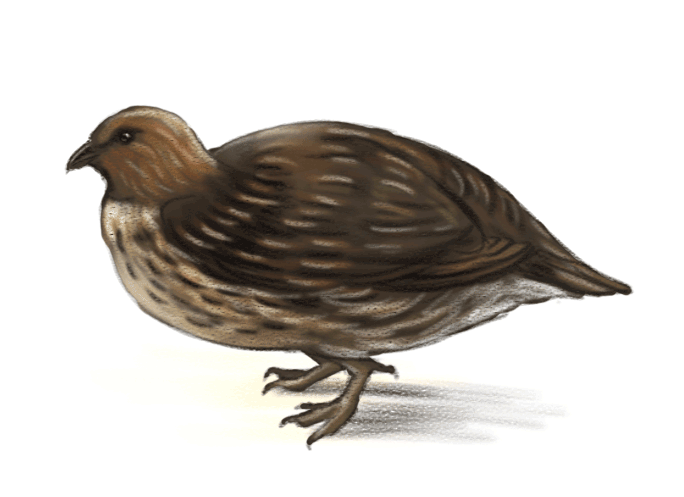 quail-ned-barraud-illustrator-from-moa-to-dinosaurs